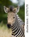 Young burchell zebra with mottle green background - stock photo