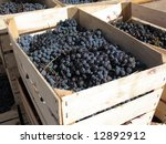 Blue grapes in wooden crates, ready for market - stock photo
