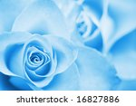 Blue rose close up - stock photo