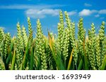 Wheat ears close-up and blue sky - stock photo