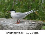 Roseate Tern - stock photo