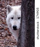 Arctic Wolf - stock photo