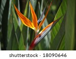 Flower Bird of paradise - stock photo