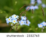Beautiful blue forget-me-not flowers, the reflection of summertime - stock photo