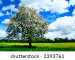 A lone apple tree in blossom - stock photo