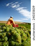 Worker who collects white grapes for wine on a beautiful weather - stock photo