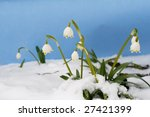 Flower snowflake in the snow (Leucojum vernum) against paper background - stock photo