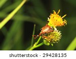 Flower Beetle - stock photo