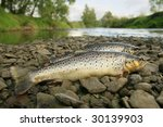 big trout in spring background and river, two trouts washed ashore - stock photo