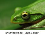 Taipei Tree Frog Close up - stock photo