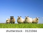 lots of sheep on grass with blue sky, some looking at the camera - stock photo