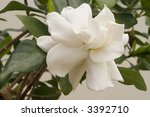 white gardenia - stock photo