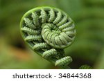 Closeup image on an unfurling fiddlehead. Taken on Hawaii's Volcano National Park. - stock photo