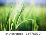 Summer field of wheat - stock photo
