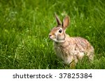 Wild north American rabbit in the green grass - stock photo