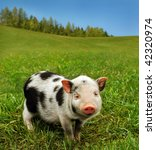 Cute spotty piglet - stock photo