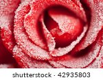 Frozen red rose in white frost. Rose petals in small ice crystals surrounding the flower - stock photo