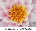 Water lilly close up - pink lotus flower - stock photo