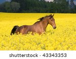 Running horse in the colza field - stock photo