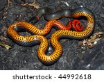 A harmless ringneck snake tries to warn predators with its orange underbelly. - stock photo
