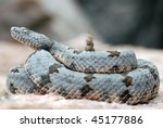Banded rock rattlesnake shakes its rattle. - stock photo