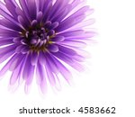Close-up of colourful purple and pink asters on white background - stock photo
