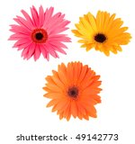 Isolated Gerbera daisies - stock photo