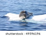 Dangerous leopard seal on ice floe in Antarctica. - stock photo