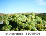 Grapes for white wine - stock photo