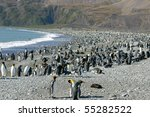 Big colony of king penguins in beach in South Georgia. Looking like crowded beach in summer - stock photo