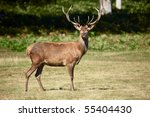 Red deer on a forest  marge - stock photo