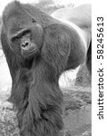 Black and white half profile of a Gorilla - stock photo