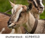 Two goats at farm - stock photo