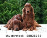 Beautiful Irish Setters - stock photo