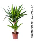Yucca, house plant in a pot - stock photo