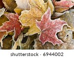 Brightly colored autumn leaves with dusting of frost. - stock photo