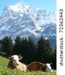 Swiss Cows - stock photo