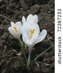 White Crocus - stock photo