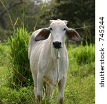 indian cow - stock photo