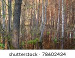Submerged forest in Biebrza swamps national park - stock photo
