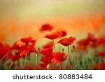 Field of Corn Poppy Flowers Papaver rhoeas in Spring - stock photo