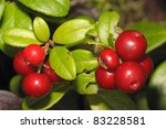 Fox berries - stock photo