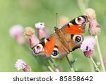 Peacock butterfly on a thistle flower (silybum marianum) in the green field - stock photo