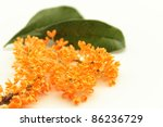 The scent of orange osmanthus - stock photo