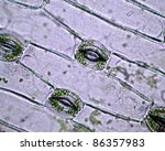 Real photo of plant cells and stoma with green chloroplast - stock photo