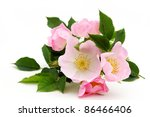 Dog rose blossom - stock photo