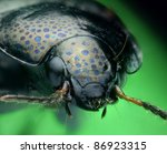 Spotty ground beetle portrait - stock photo