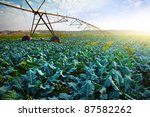 Rural agriculture field with cabbage culture and modern irrigation system. - stock photo