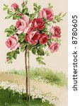 Flowering rose bush - a 1909 vintage illustration - stock photo