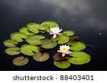 Waterlily or lilly pads in pond in the summertime - stock photo